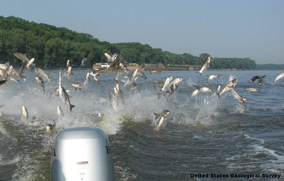 Great lakes groups to obama address asian carp crisis for Mississippi river fish
