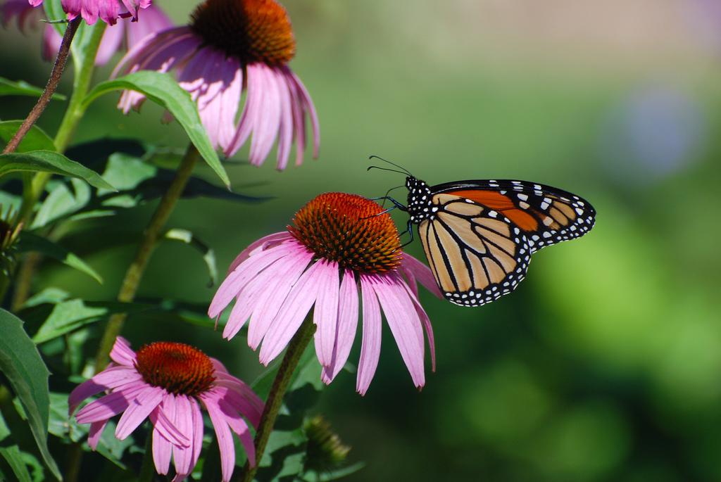 majestic monarchs return to niagara parks commission s. Black Bedroom Furniture Sets. Home Design Ideas