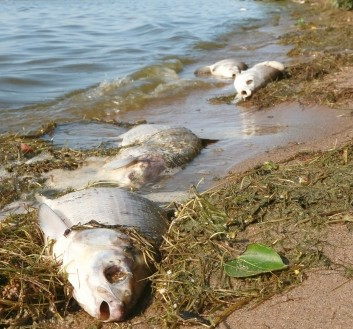 Dead Fish on Rotting Fish Along The Shore File Photo