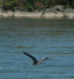 A blue heron soars over Beaverdams Creek, a water system some Niagara municipal politicians feel should be included in Greenbelt. Photo courtesy of Jim Vanderhoek