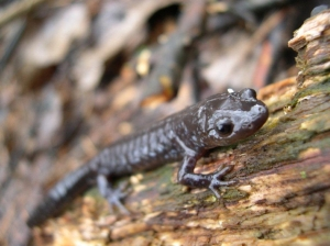 The Blue Salamander, one of many native Niagara reptiles vital to a health web of life for everyone up to we humans, is a continuous victim of low-density urban sprawl paving over its habitat