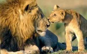 Cecil having a moment with one of his cubs