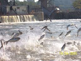 Invasive Asian Carp leaping in waters of upper Mississippi River system near Lake Michigan.
