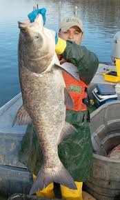 These invaders feed voraciously on foods native fish species depend on and can grow to an enormous size.