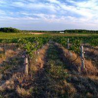Grape vines in Ontario's Greenbeilt stretching from the Niagara River and Niagara-on-the-Lake, around Hamilton and north of Lake Ontario and outside the urban boundaries of the Greater Toronto Area.