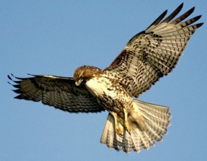 Red-Tailed Hawk soars above Niagara Escarpment