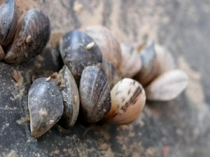 Quagga Mussels - now more commonly known as zebra mussels - entered the Great Lakes some 30 years ago in the ballast of overseas ships and have done untolled damage to municipal and industrial water intake pipes and other underwater infrastructure, and to the Great Lakes fishery. Photo by Dave Britton, U.S. Fish and Wildlife Service