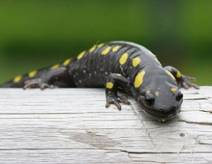 Consultants for the Thundering Waters/Paradise community project planned for hundreds of acres of wetlands and forest appear to have little knowledge of the behavior and importance of spotted salamanders on the land they want to develop.