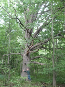 A giant white oak tree in Thundering Waters Forest, in the Niagara River watershed in Niagara Falls, Ontario.