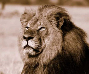 Cecil, the iconic African lion killed by a trophy hunter.