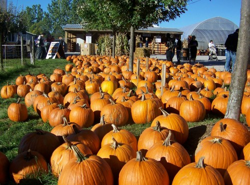 Pumpkins in the Shorthills of Niagara, Ontario. File photo by Doug Draper