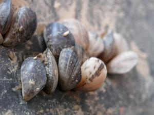 Quagga Mussels are native to the Ukraine and Eastern Europe region and is not supposed to be in the Great Lakes because it competes and pushes away native species that are a vital part of the foodchain. They got her in the ballast water of ocean-going ships and that must stop! Photo by Dave Britton, U.S. Fish and Wildlife Service