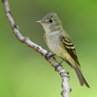 Acadian Flycatcher another one of many endangered and threatened species in Ontario