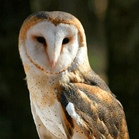 Iconic Barn Owl on endangered species list in Ontario