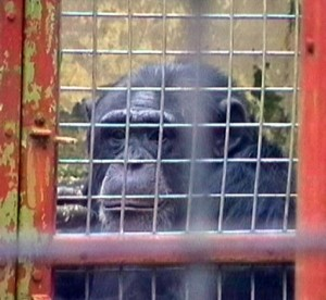 chimp-southport-zoo-caps