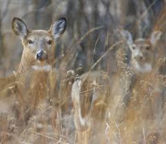 Deer in s Short Hills Provincial Park in Niagara, Ontario. file photo