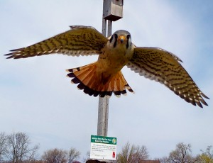 A kestrel leaves its nesting box at a research site in Niagara region. Photo couresy of Brock University
