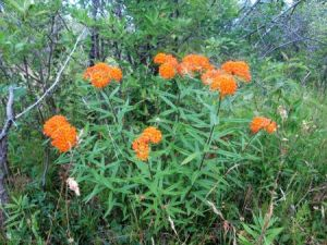 Regionally rare butterfly Milkweed in Thundering Waters Forest. Photo: Adrin Willems