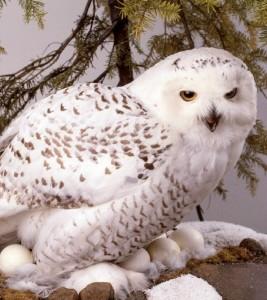 white-snowy-owls_banner
